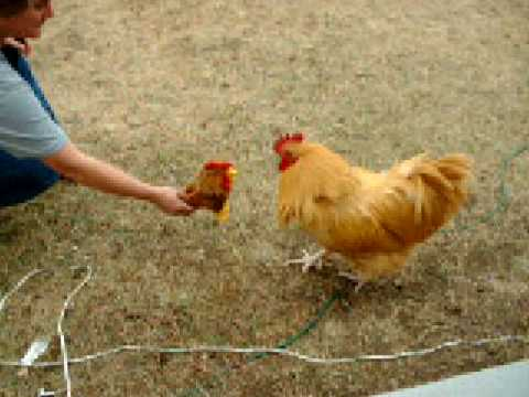 Funny Fighting Rooster Youtube