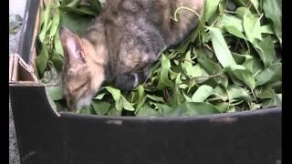 Актинидия и Кошки