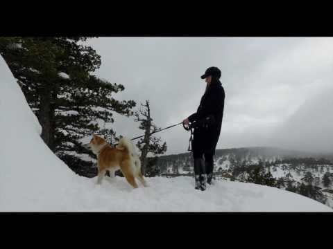 Three Akita Inu having a blast in the snowy mountains