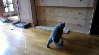 Игры с лазером. Кошки и котята.
