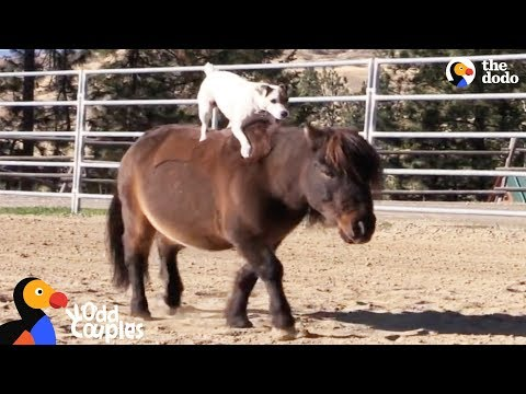 Dog Rides Her Mini Horse Everywhere   The Dodo Odd Couples
