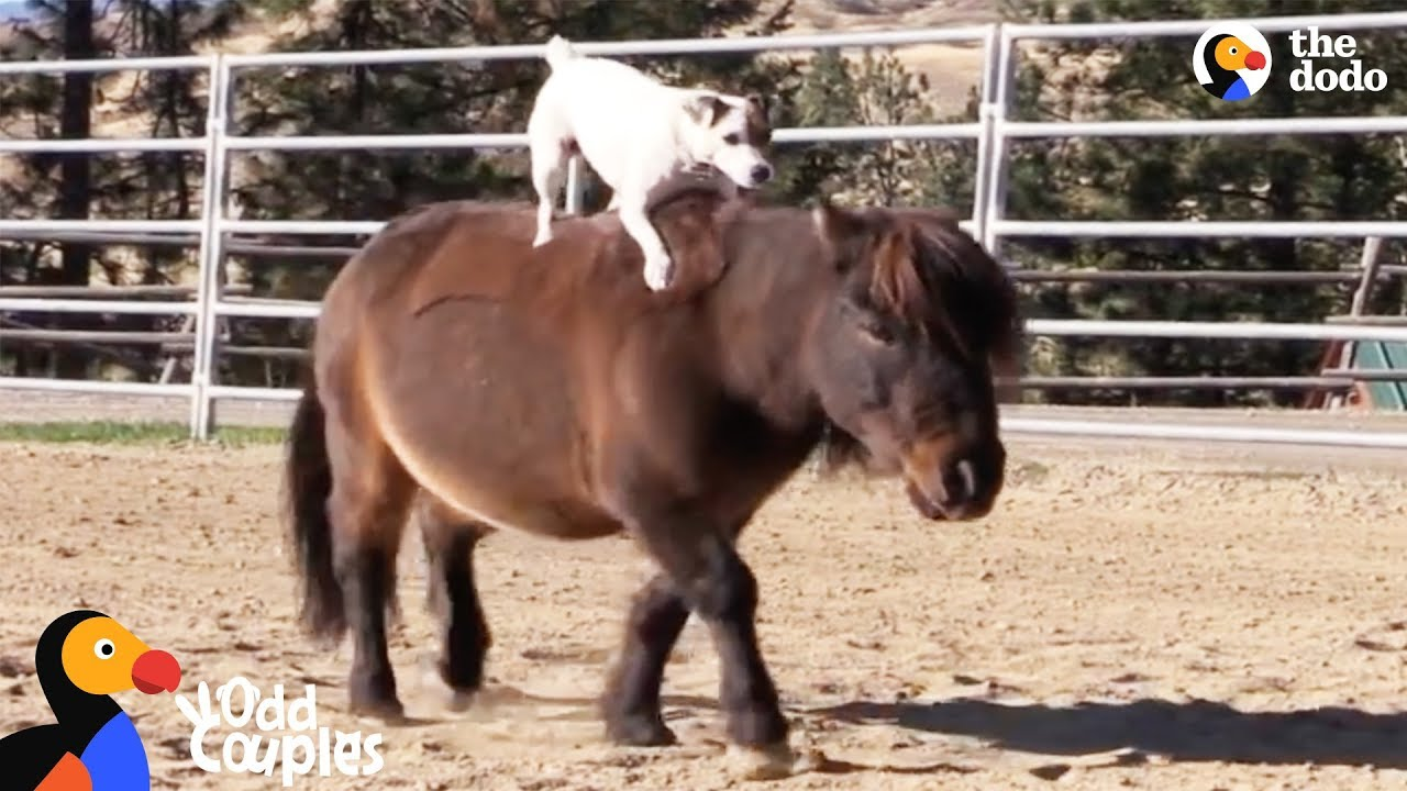 Animal Odd Couples Youtube dog rides her mini horse everywhere | the dodo odd couples
