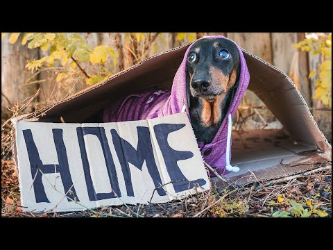 Cant find my home! Cute and funny dachshund dog video!
