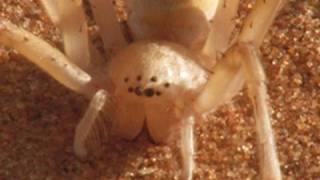 Die rollende Sahara-Spinne