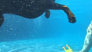Doberman Bubba diving underwater in swimming pool for his toy chicken