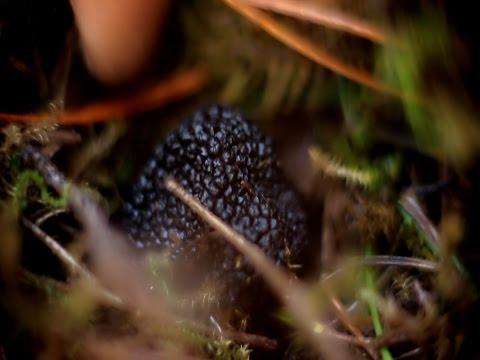 Поиск черного трюфеля под Геленджиком, www.grib.tv