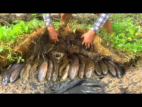 Unique Mud Fishing Video! Find & Catch Snakehead Fish And Catfish Form Mud In Small Pond
