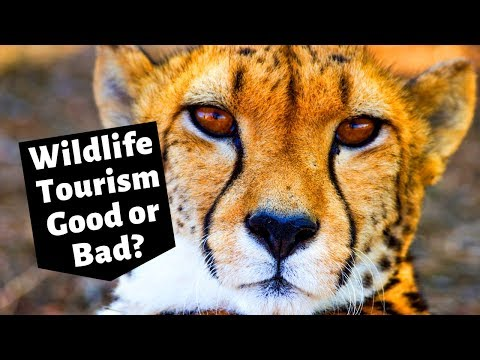 Is wildlife tourism bad for wildlife?