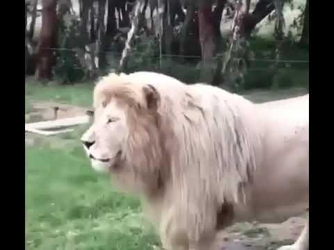 Laughing lion by Aryan