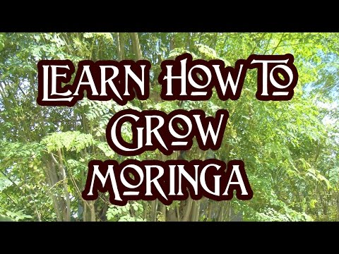 How To Grow Moringa