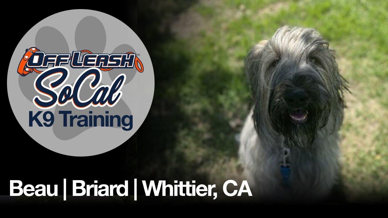 Beau   Briard   Whittier, CA