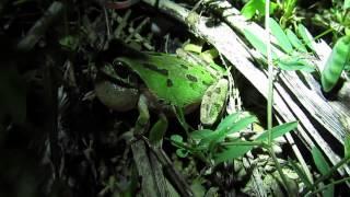 アマガエルの季節 ~大声はよく膨らむ鳴嚢から
