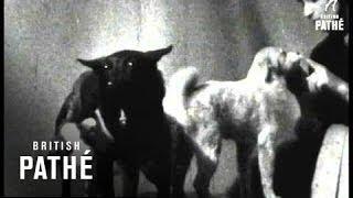 """""""Tschernuschka"""" mit Welpen (1961)"""