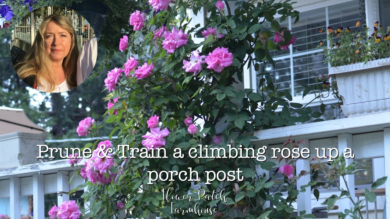 Zephirine Drouhin Climbing Rose climbing rose: how to prune and train up a post for lots of blooms!