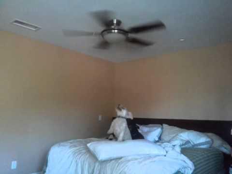 Dog barking at fan