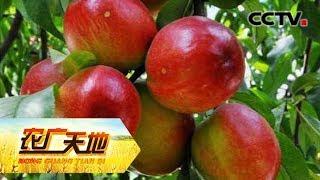 《农广天地》 20190712 早熟油桃夜里闹| CCTV农业