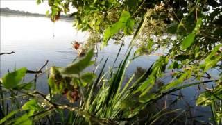 The bonny swan - Il bel cigno