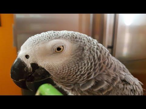 Попугай матерится на хозяина говорящий попугай матершинник Рико Жако