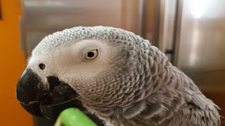 Parrot swears at the owner