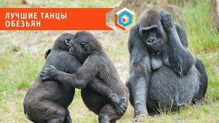 «Танец-вспышка»: эти обезьяны танцуют так, что вам захочется танцевать с ними