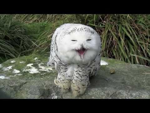 cute barn owl