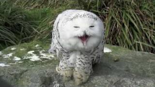 Snowy Owl - Dublin Zoo
