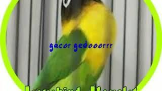Download Mp3 Masteran Minor Suara Walet