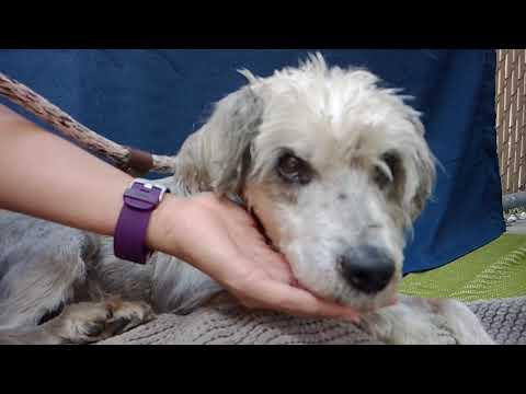 A5297854 Carter   Wheaten Terrier