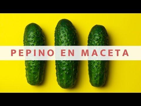Como Sembrar Pepino En Maceta 2021//cultivo de pepino//manos de tierra