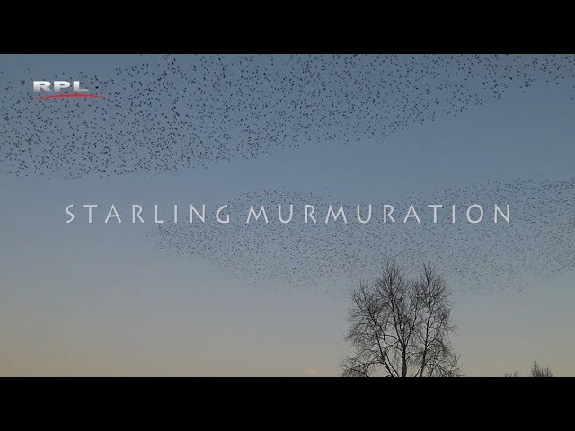 Starling murmuration - Natuur in de omgeving - RPL TV Woerden - 4 juni 2018