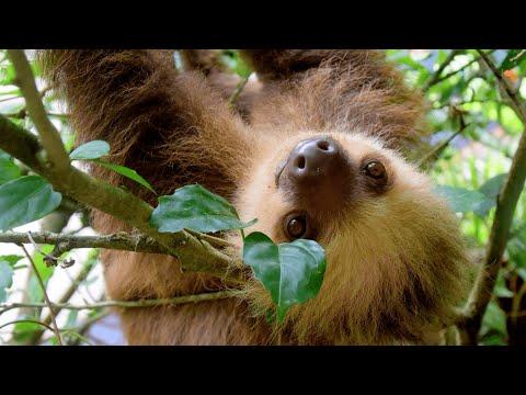 Вопрос: Ленив ли ленивец -животное см подробности?