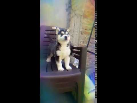 Blue Eyed Husky Male Puppy For Sale In Delhi 9999039993 Kci