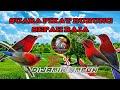 Suara Pikat Burung Sepah Raja Terbaru   Mp3 - Mp4 Download