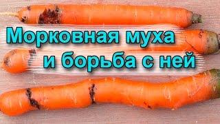 видео Морковная муха. Как с ней бороться нашатырным спиртом