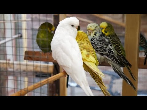 2 Hours of Budgies Singing Playing and Talking - Play For Your Budgie!