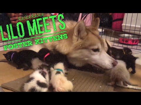 Lilo the Husky Meets a Litter of Kittens!