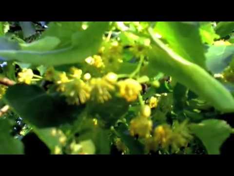 Harvesting Linden Flowers