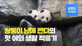 [클릭@지구촌] 벨기에 동물원의 쌍둥이 남매 판다, 첫…