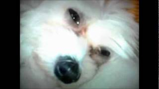 Maltese Dog Sleeping, Open Eyes All The Time :d