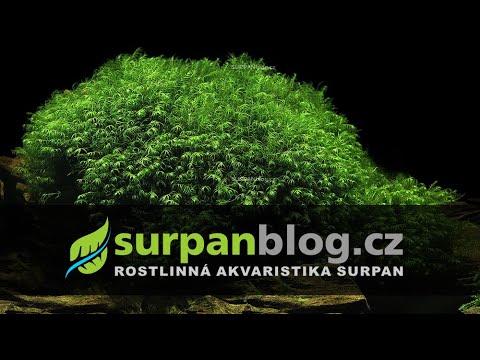 Phoenix moss - Fissidens fontanus - Krondlovka vodní - aquarium plant (fullHD)