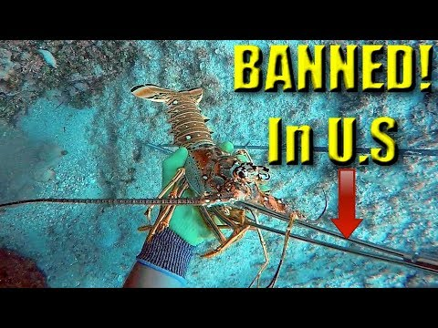 WHY Is This BANNED in the U.S?  Catch and Cook- Spiny Lobster (Bimini, Bahamas)