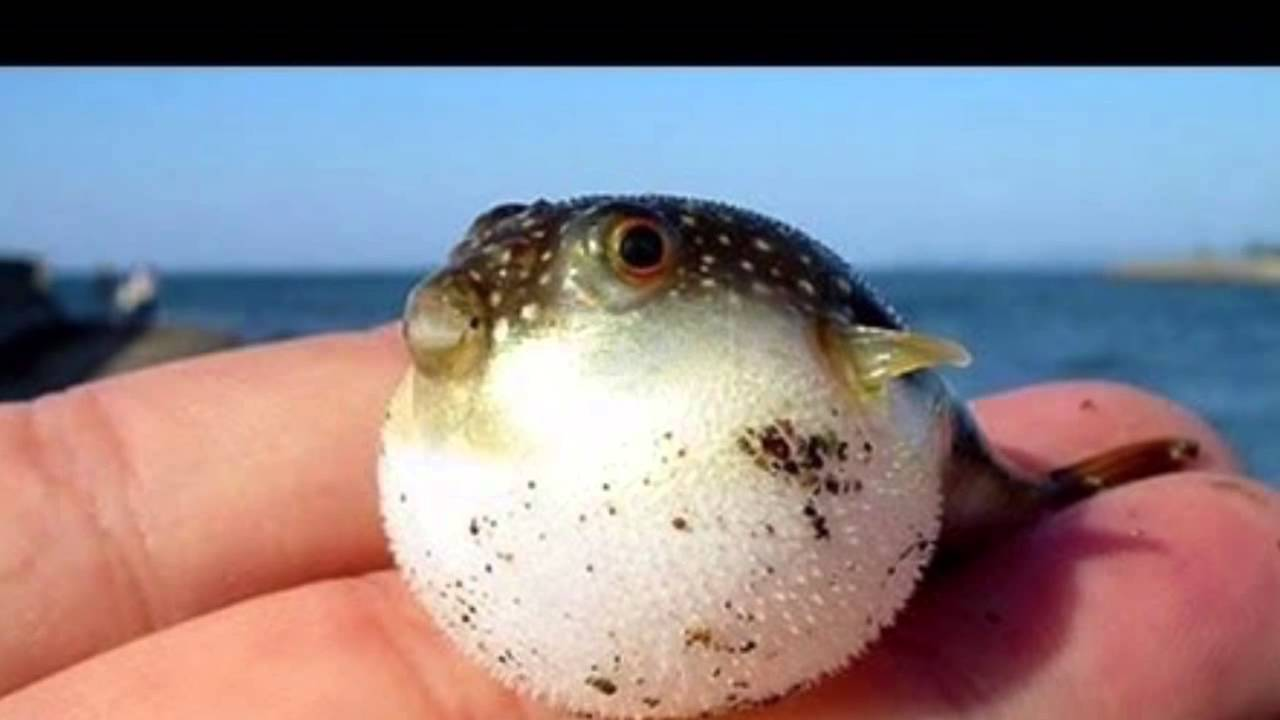 Life cycle of a puffer fish youtube for Baby fish song