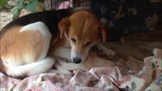雑種のビーグル犬の「ナイキ」(背中にナイキのロゴに似た白い模様あり...