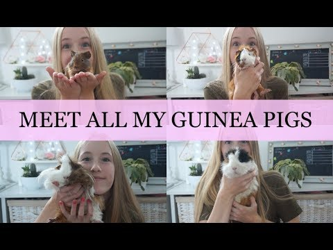 MEET MY GUINEA PIGS - ALL 4 | Imy'sAnimals