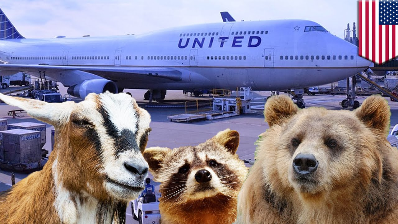 United Airlines comfort pets: Airline gets tough on emotional support animals - TomoNews