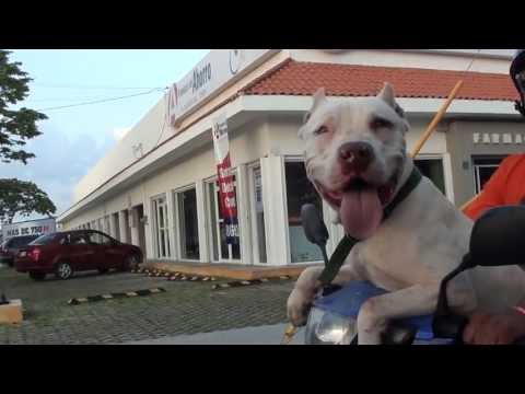 Pitbull riding a scooter in Cozumel, Mexico 1080p