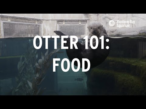 Sea Otter 101 | How Much Food Do Sea Otters Eat?