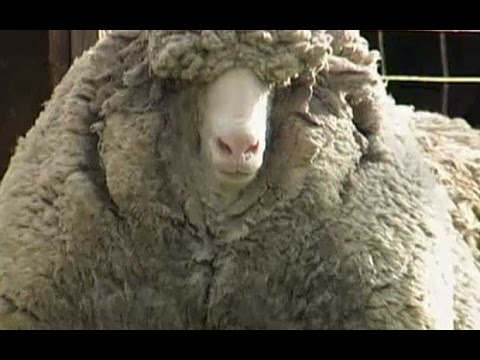 'Wooliest' sheep survives unshorn for six years