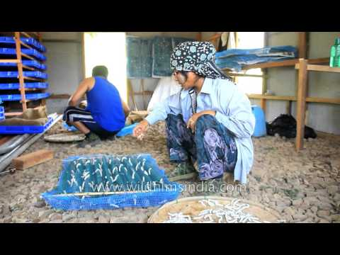 Sericulture or silk worm farming in Mizoram, India