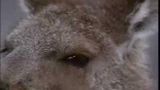オーストラリアの研究グループがカンガルーのDNAが極めて人間に近い事を...